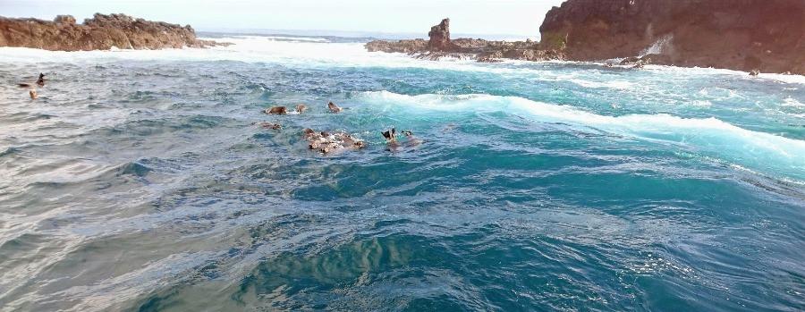 Seals swimming at Seal Rocks