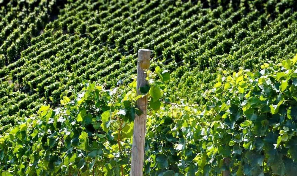 Vines in the Yarra Valley