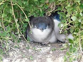 Little penguin chicks