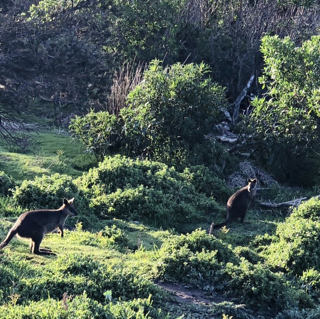 Wallabies at Swan Lake