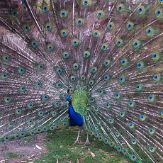 Peacock-at-Churchill-Island.jpg