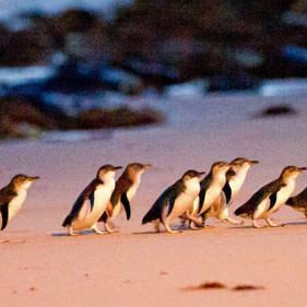 Penguins arriving at dusk