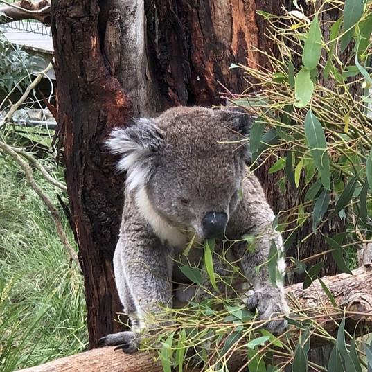 Koala in the trees
