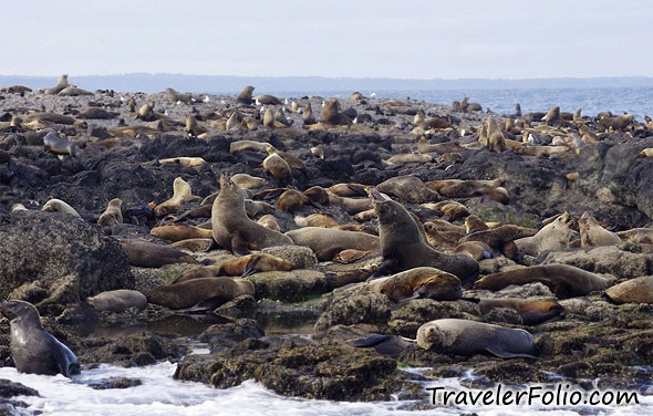Fur seals at Seal Rock