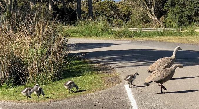 Cape Barron Geese
