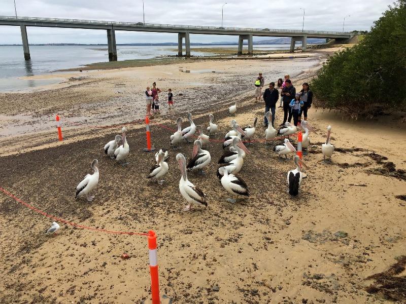 Pelican feeding
