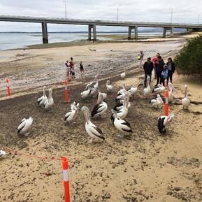 Pelican feeding at San Remo