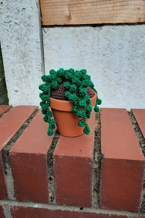 String of Pearls Cactus