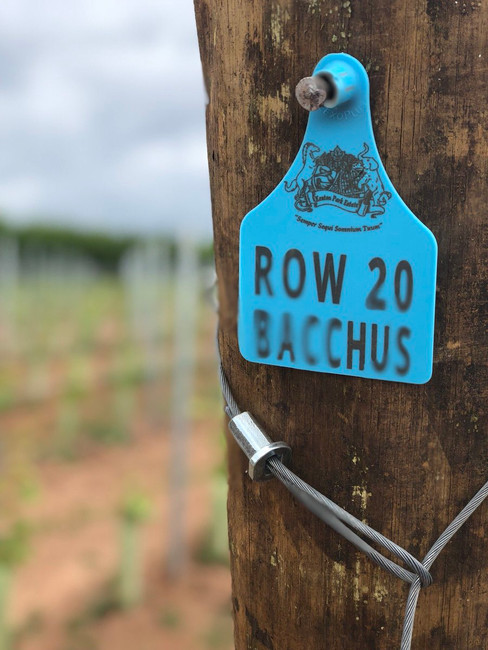Vine Row 20 Bacchus