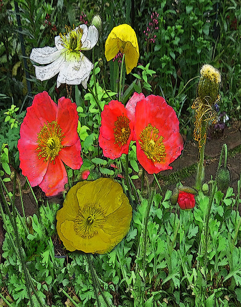 Poppy Collection Print