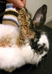 Ear Mites: Kittens and Bunnies