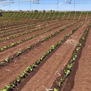 Soybeans_DL_5.jpg