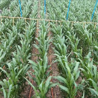 Corn_DL.png