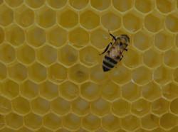 yellow%20bee%20on%20honeycomb_edited