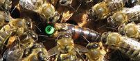 breeder Queen from Arataki Honey Ltd, Rotorua, NZ