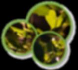 GroPod Ltd - Sweet Potato leaves in pod