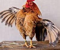 Ein Huhn geklaut? Wie bitte?