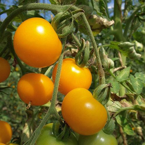 Tomates jaune