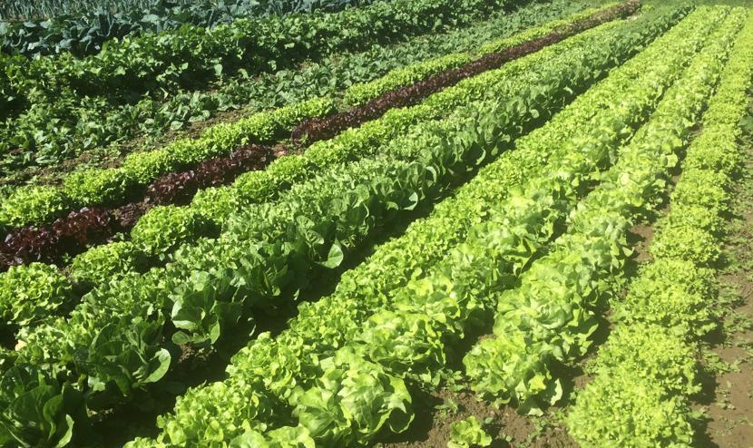 Nos cultures de salades