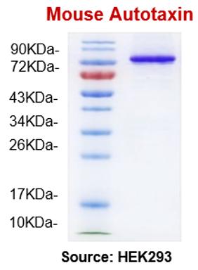 mATX/mENPP2 (Mouse Autotaxin)