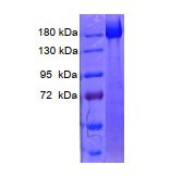 SARS-CoV-2 Spike protein (expressed in CHO cell)