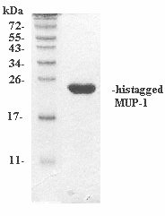 mMUP-1 (Recombinant Mouse Major Urinary Protein-1)