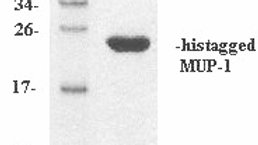 Mouse Major Urinary Protein-1 (MUP-1)