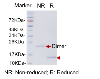 hGDF-15 (Human Growth Differentiation Factor 15)