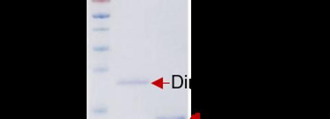 hGDF-15 (Human Growth Differentiation Factor 15)