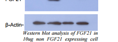 Polyclonal Antibody against Mouse FGF-21