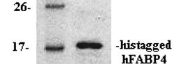 hFABP4 (Human Fatty Acid Binding Protein 4)