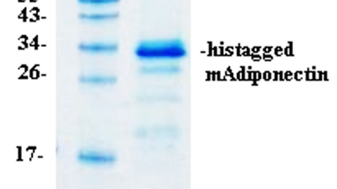 Mouse Adiponectin, His-tag (Full-length)