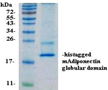 mADPN, Globular Domain (Mouse Globular Domain Adiponectin)