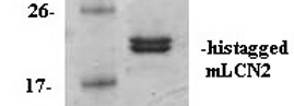mLCN2 (Mouse Lipocalin 2)