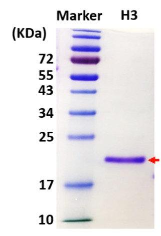 Histone H3