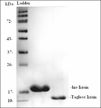 Irisin, His tag (Human Irisin with His-tag)