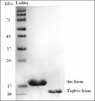 Irisin, tagless (Human Irisin with No Tag)