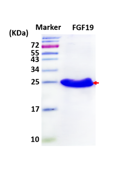 hFGF19, Tagless (Human Fibroblast Growth Factor 19 with No Tag)