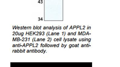 Anti-human APPL2 Antibody, Rabbit pAb