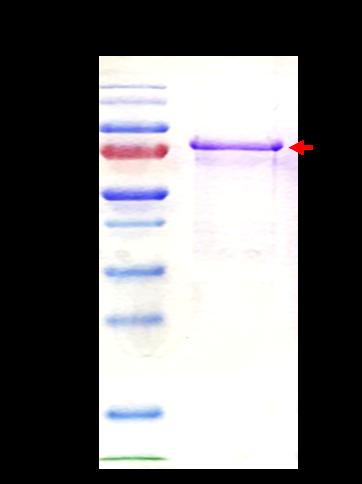 CENPB (Centromere Protein B)