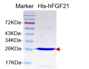 hFGF-21, His-tag (Human Fibroblast Growth Factor 21 with His-tag)