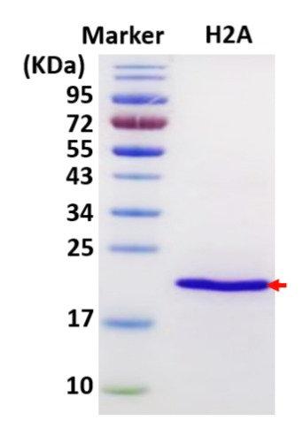Histone H2A