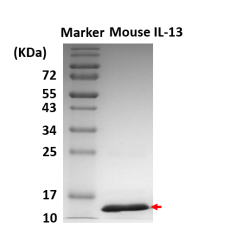 mIL-13 (Mouse Interleukin-13)