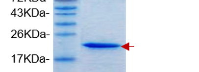 mFGF21, Tagless (Mouse Fibroblast Growth Factor 21 with No Tag)