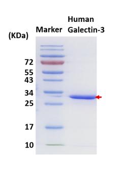 hGal-3 (Human Galectin-3)