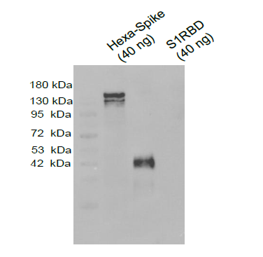Affinity-purified Polyclonal Antibody against SARS-CoV-2 Spike Protein