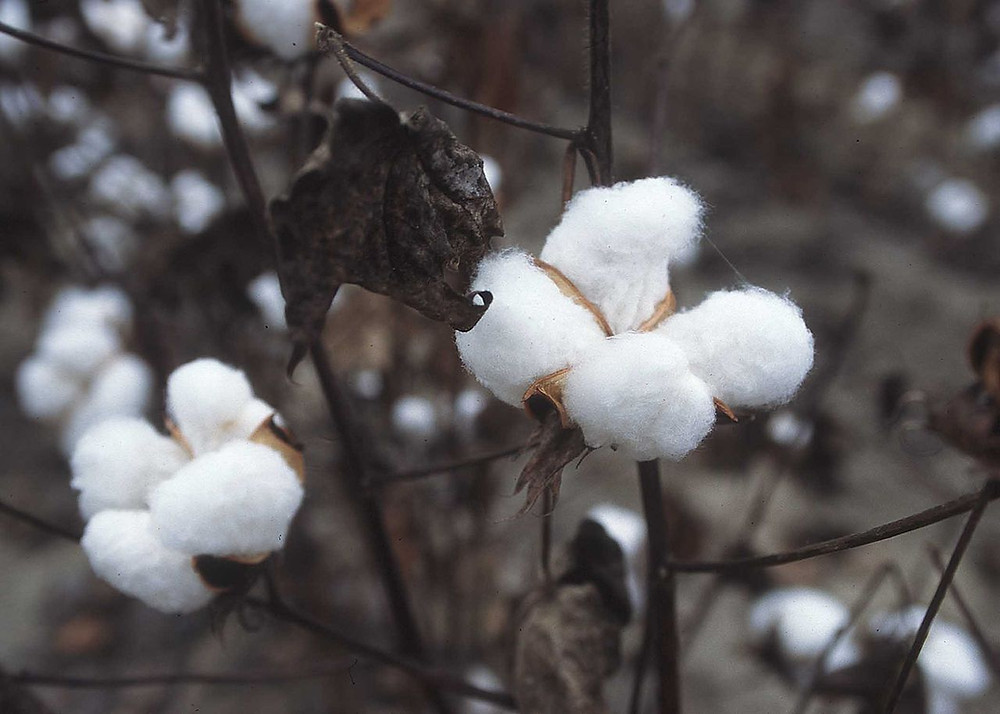 Cotton plant - Balls of cotton ready for harvest