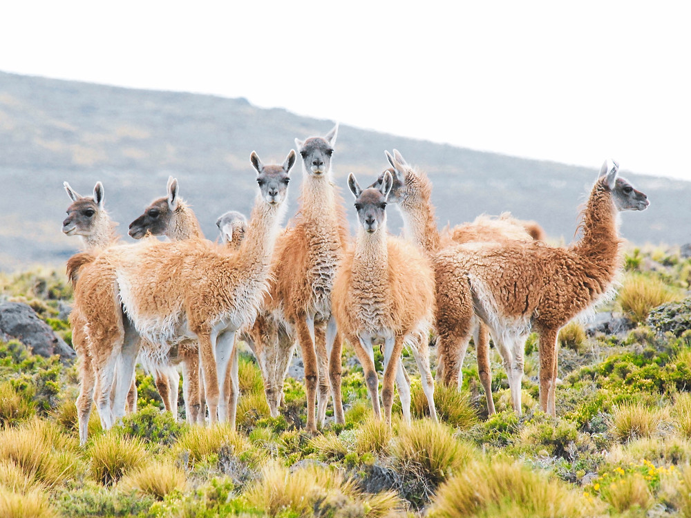 A group of camelids on the wild staring at the camera