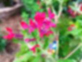 cuphea-sriracha2.jpg