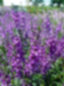 angelonia.serena.purple2.jpg